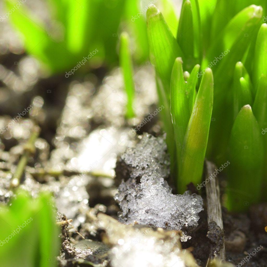 живого фото снег на зеленый росток прийти