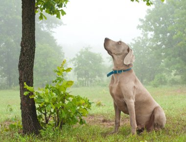 Weimaraner dog sitting, watching closely at something up in the tree