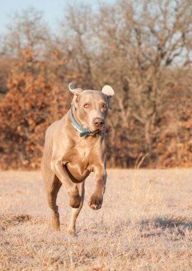 Weimaraner dog running towards viewer in frosty winter grass