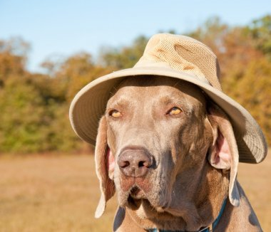 Funny image of a Weimaraner dog wearing a summer hat