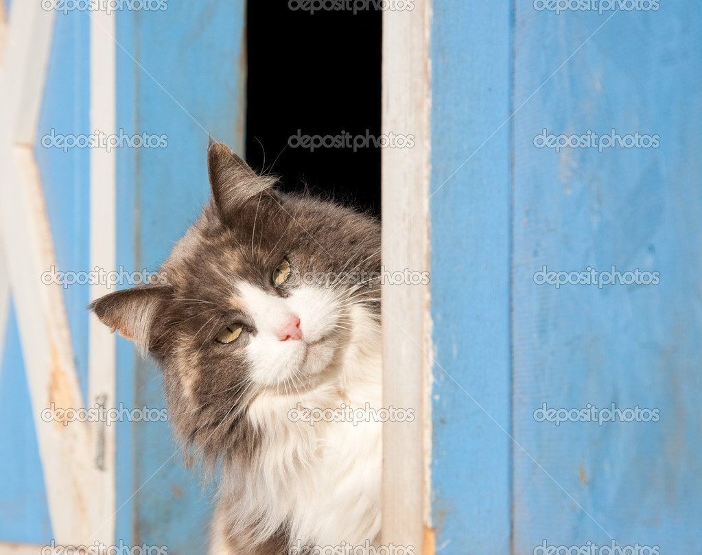Calico cat peeking out of a blue barn