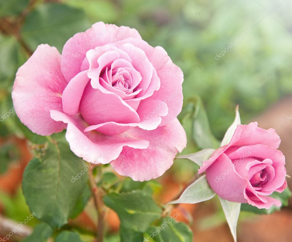 Beautiful pink roses in a garden