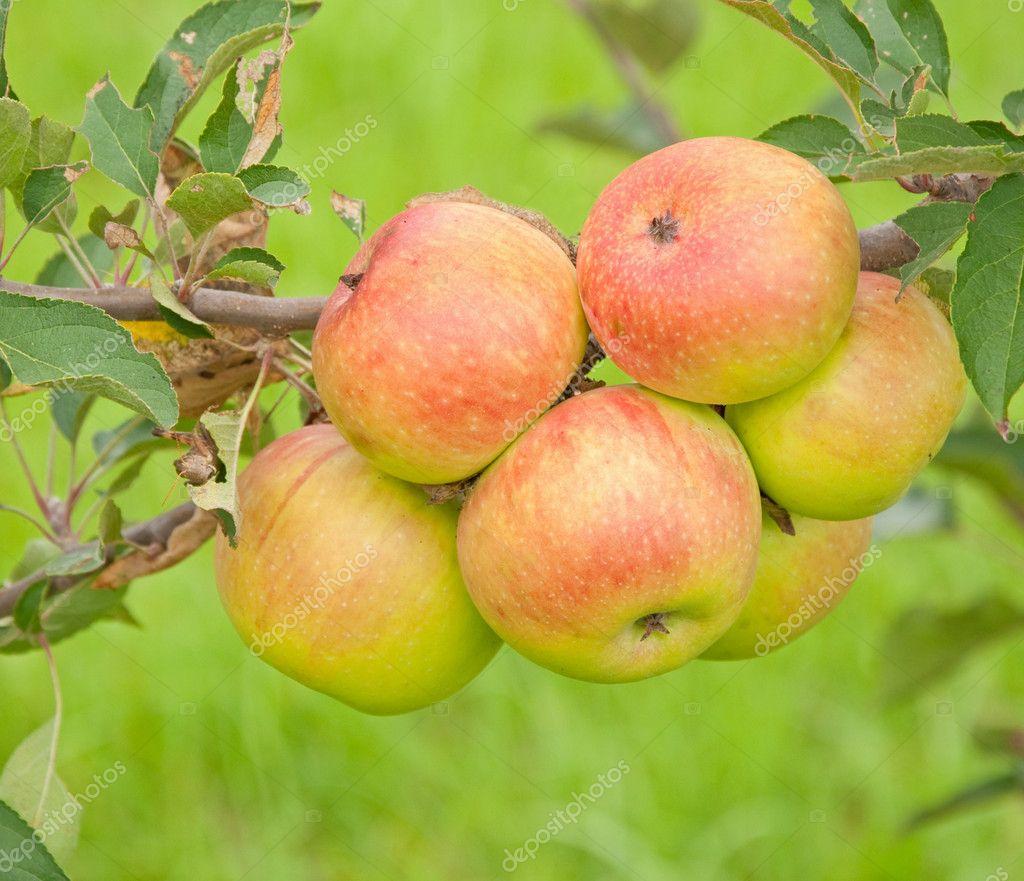 苹果树成长过程图片_苹果生长在一棵树 — 图库照片©okiepony#8002221