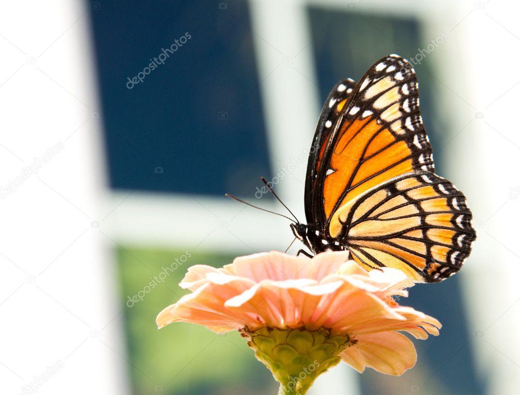 Beautiful Viceroy buterfly feeding on a light orange Zinnia