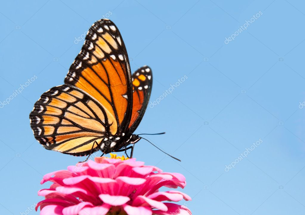 Brilliant Viceroy butterfly feeding on a bright pink Zinnia