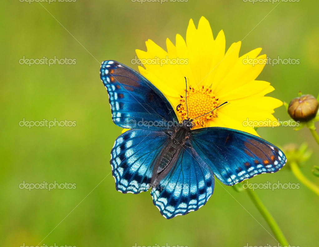Red-spotted Purple Admiral butterfly on a yellow Coreopsis flower