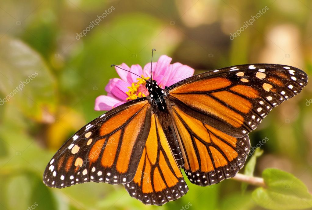 Dorsal view of a female Monarch butterfly