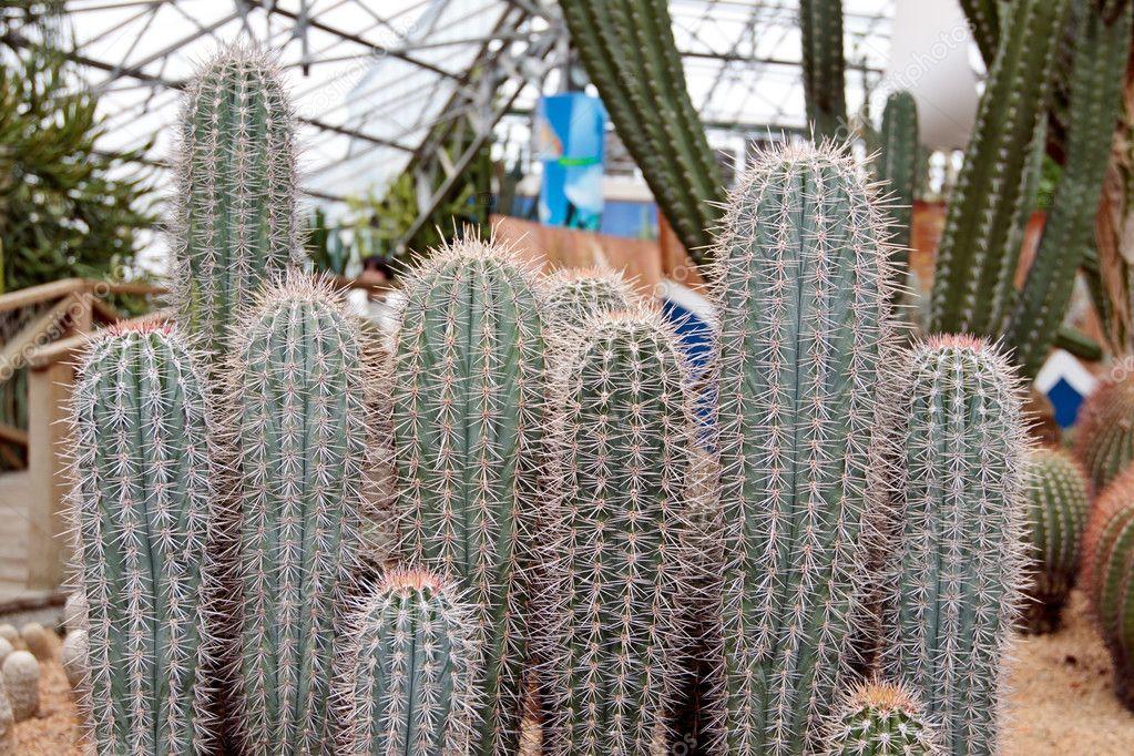 Cactus Mammillaria durispina Bod