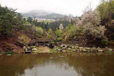 Cherry blossom in Korean mountains at a riverside