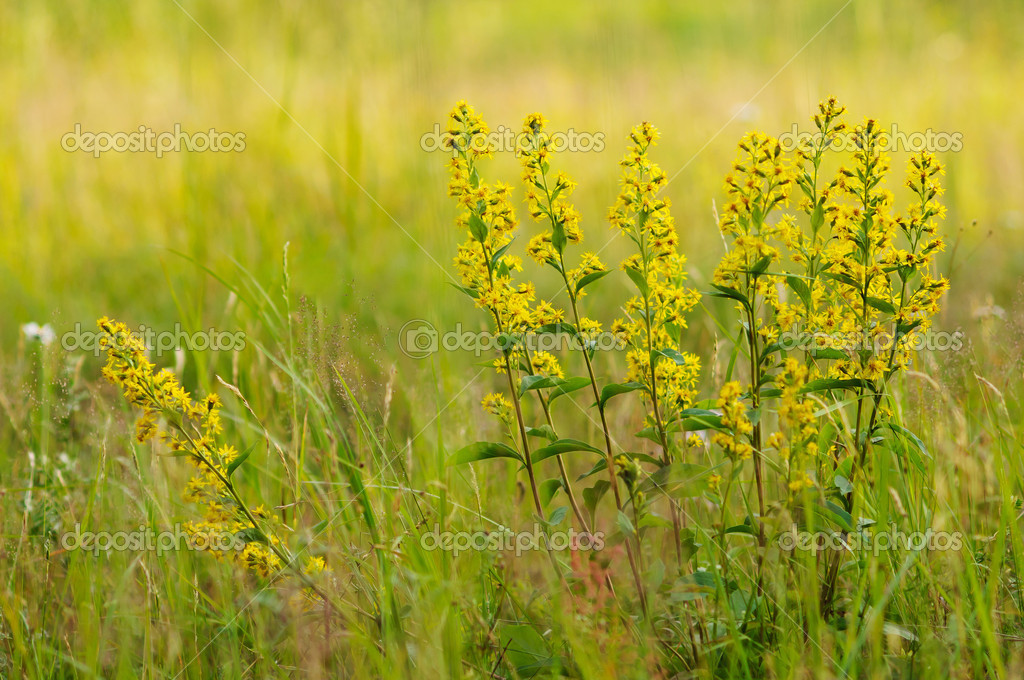 Golden-rod close up.