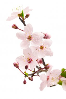 Pink cherry blossom (sakura flowers), isolated on white