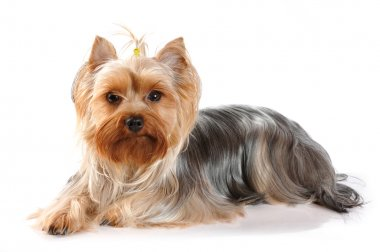 Cute portrait of lying yorkshire terrier