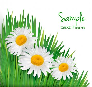 Easter background Daisy flowers in green grass Vector illustration