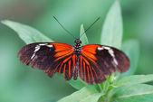 červený černý motýl