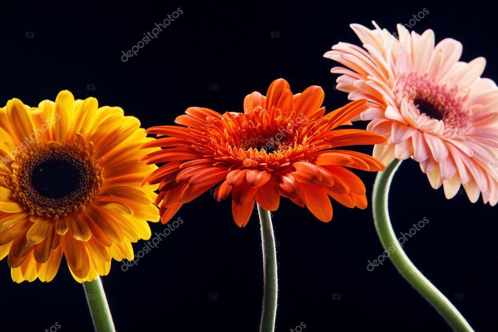 Three gerber flower