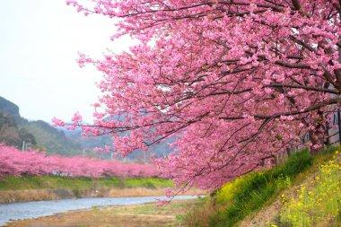 Kawazu cherry tree in shizuoka japan