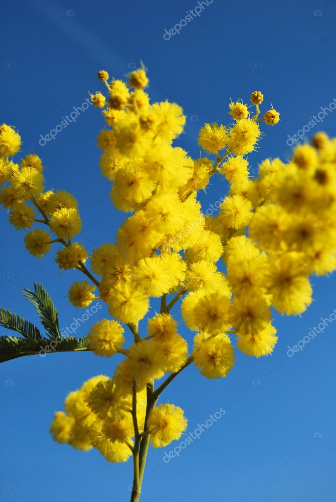 Mimosa flower 650