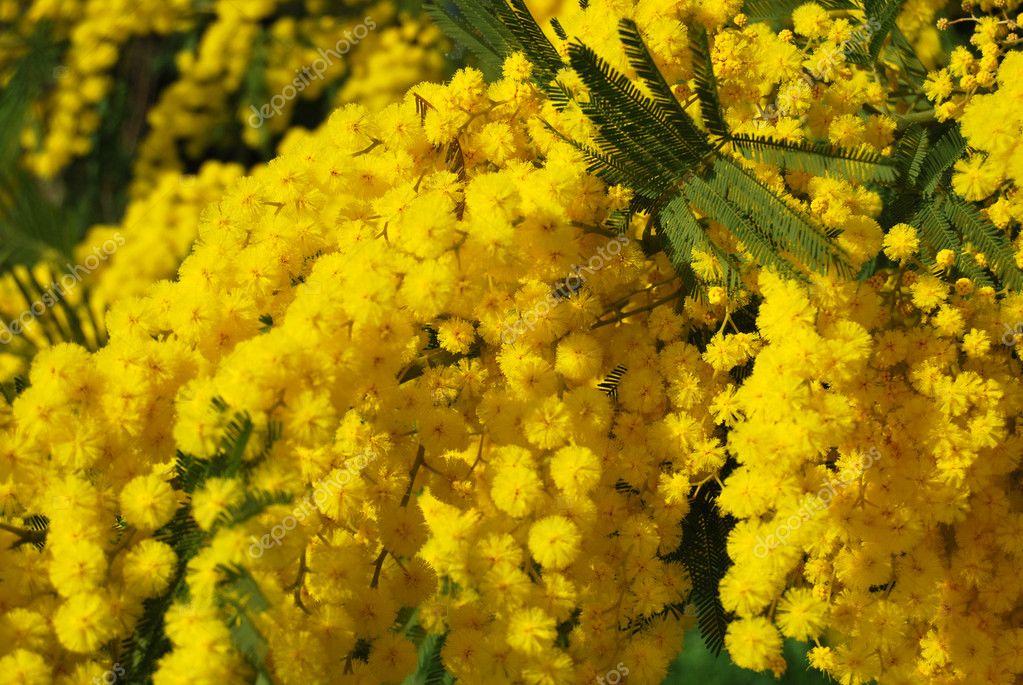 Mimosa flower 609