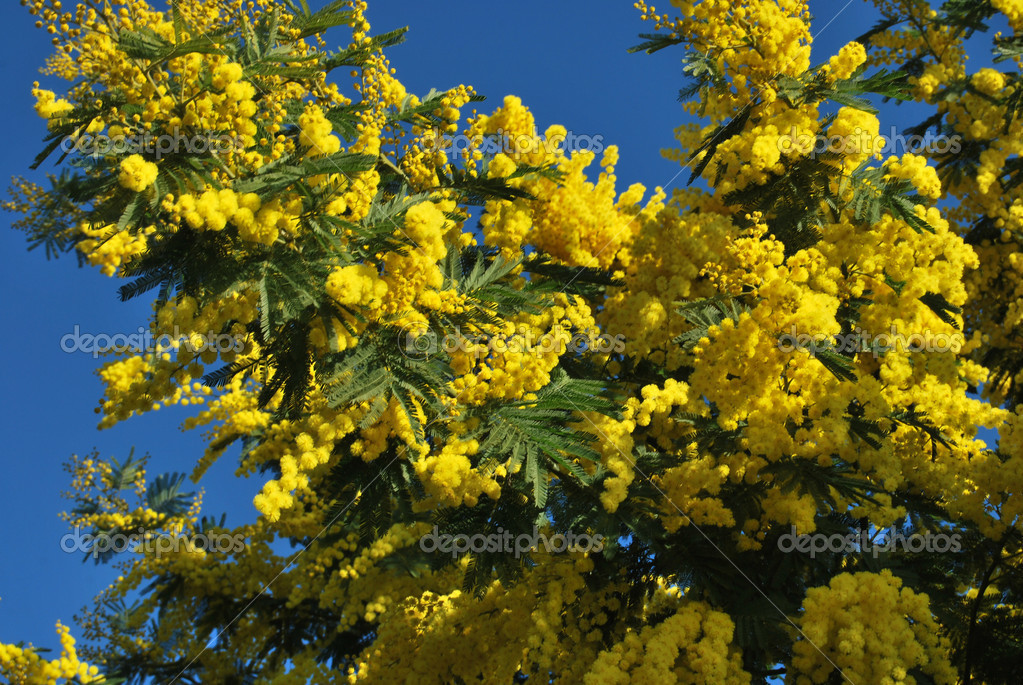 A plant of Mimosa symbol of March 8, International Women's Day