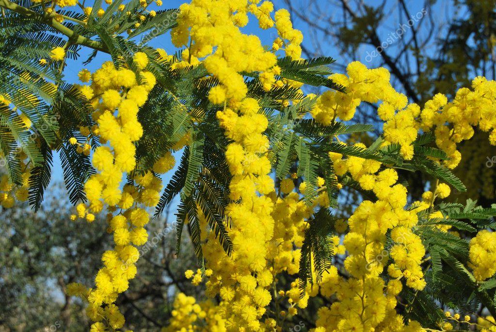 Mimosa flower