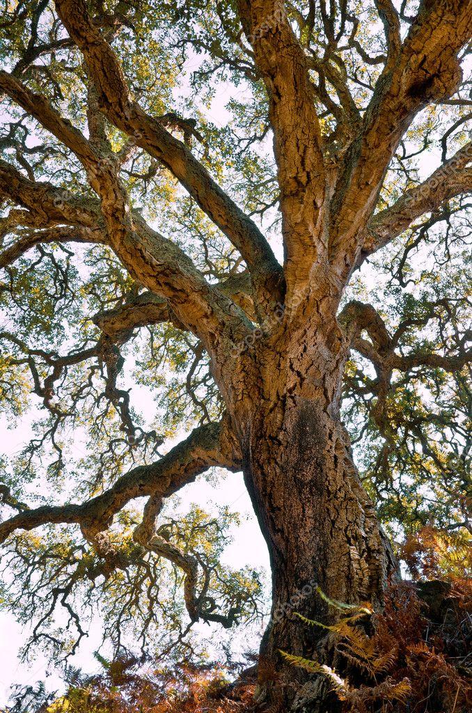 Centenarian cork tree