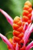 Oranžový panama královna květiny v plném květu
