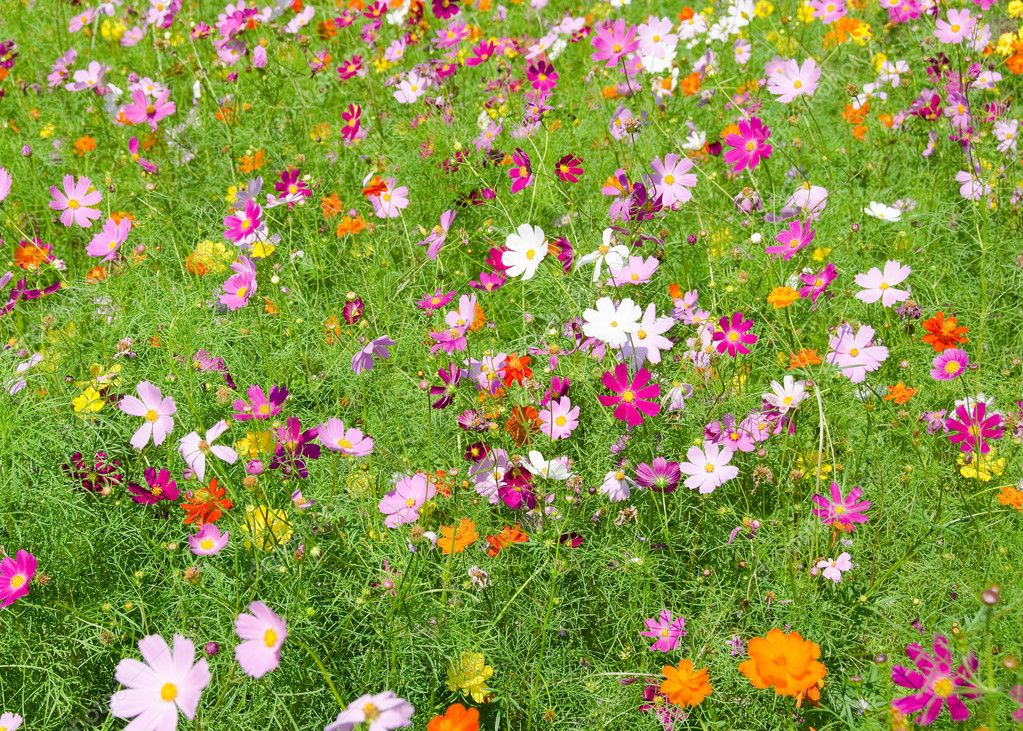 A Field Of Cosmos Flowers Stock Photo Image By Arrxxx 8208957