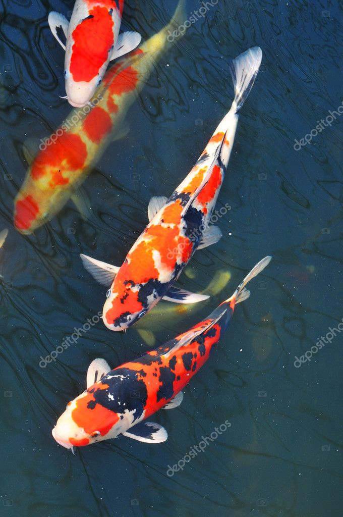 Koi Fish Stock Photo C Lucianmilasan 9824800