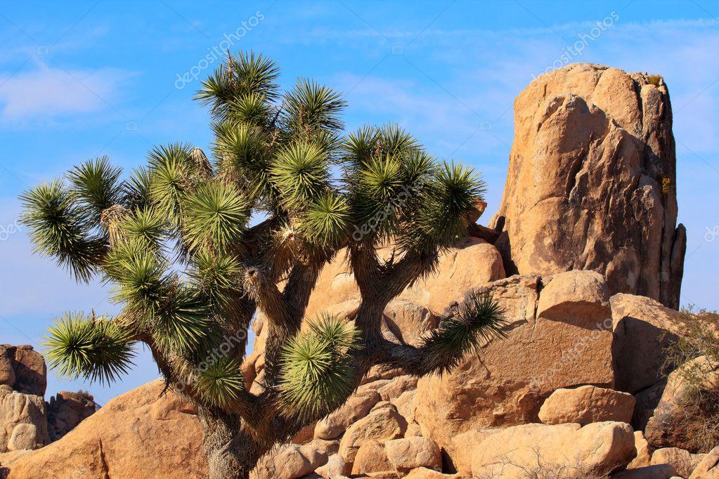 Rocks Yucca Brevifolia Mojave Desert Joshua Tree National Park