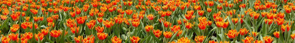 Tulips panoramic