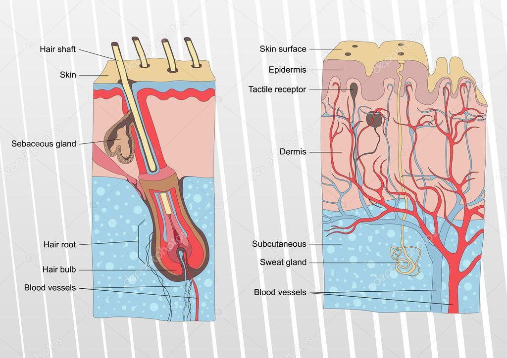 menschliche Haut und Haar Anatomie Hintergrund Vektor — Stockvektor ...