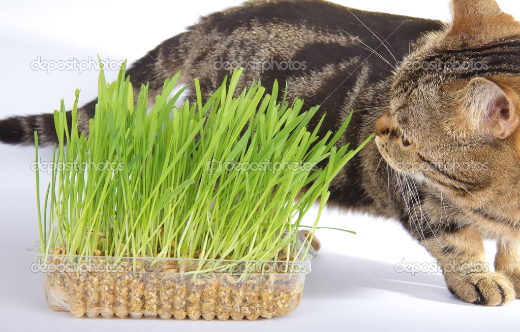 Tabby cat and grass on white background