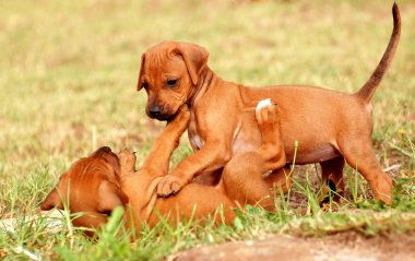 Playing Rhodesian Ridgeback puppies