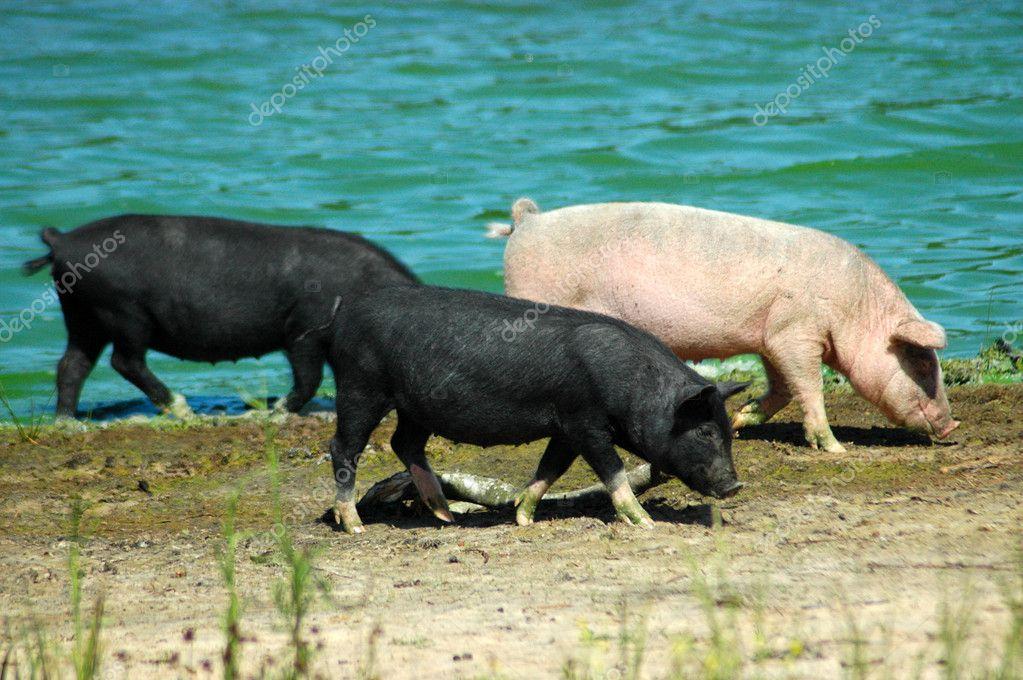 Pigs walking