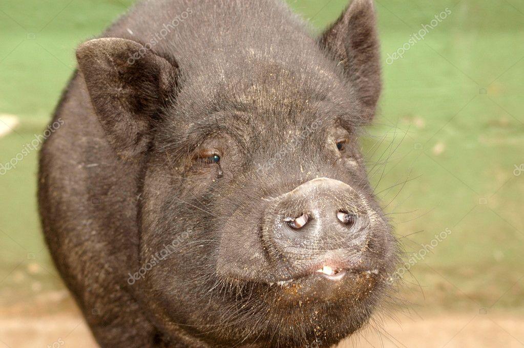 Vietnamese Potbelly pig face