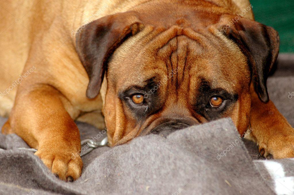 Bullmastiff dog sad