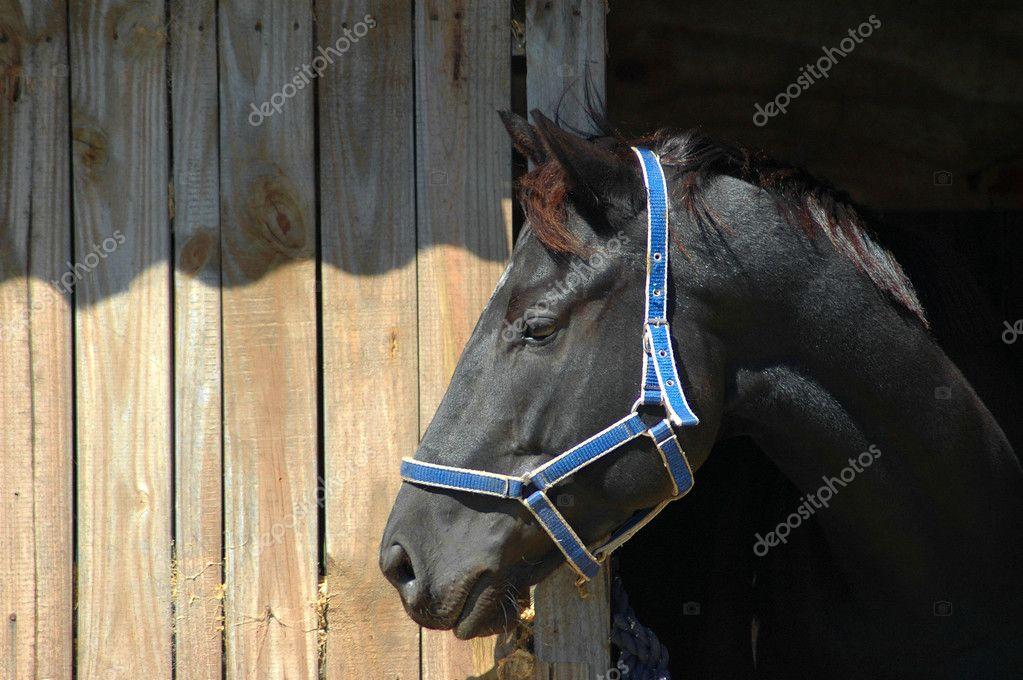 Black horse profile portrait