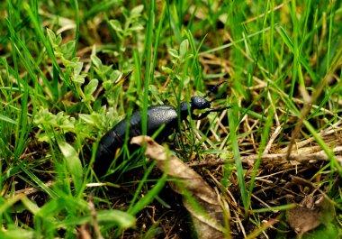 Unusual steppe bug