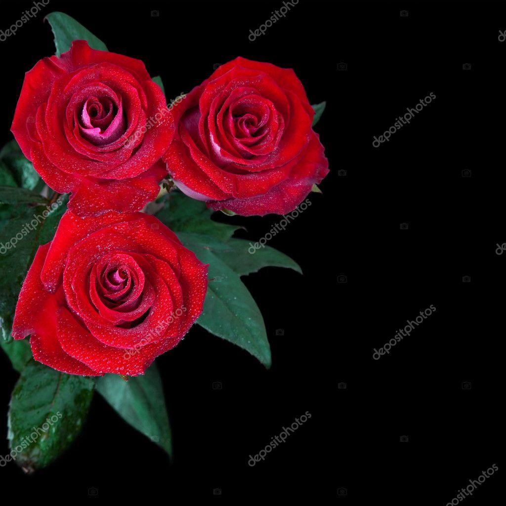 Bellissime rose rosse isolate su sfondo nero foto stock for Foto di rose bellissime