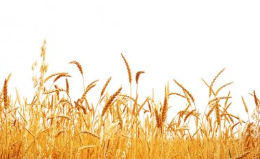 Wheat rop.