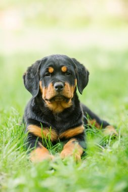 Rottweiler puppy on a grass
