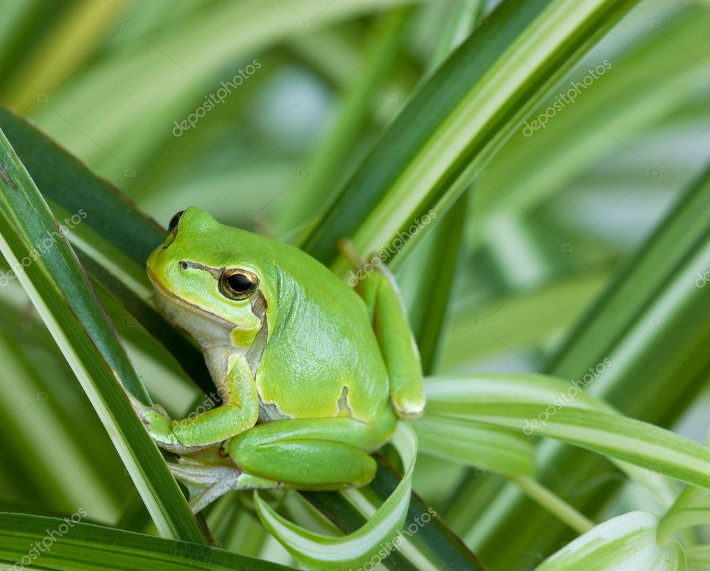 little green frog stock photo lola19 8330616. Black Bedroom Furniture Sets. Home Design Ideas