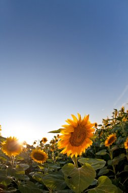 Beautiful yellow sunflower in spring field at sunset. Shot was taken with fisheye lens stock vector