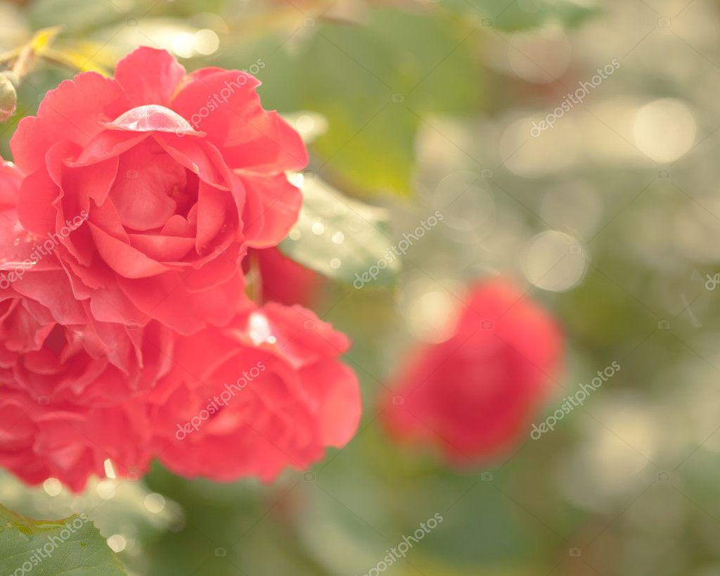 Beautiful rose bush