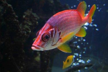 Red Beta Fish