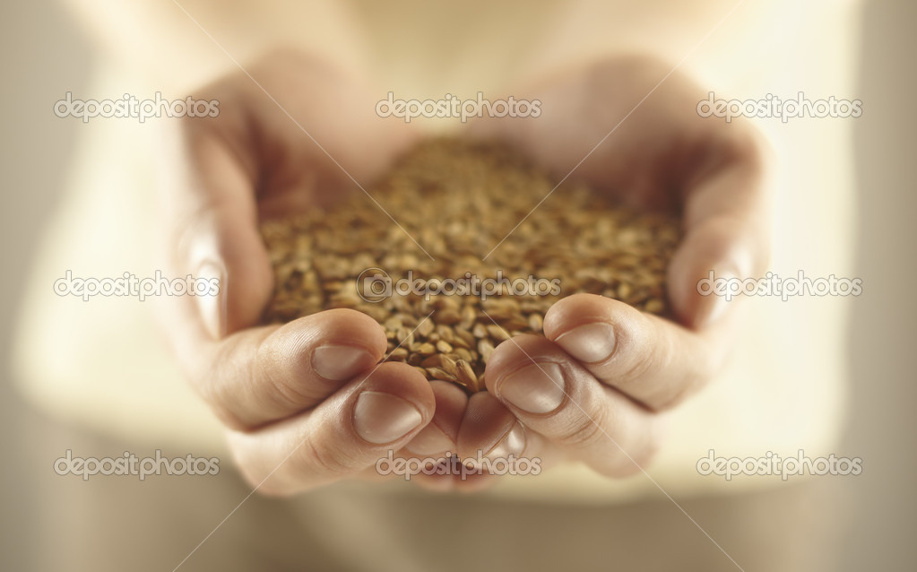 Wheat grains in the male hands.