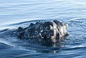 Hosszúszárnyú bálna s head-3