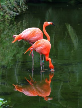 Two pink flamingos are searching feed in the water