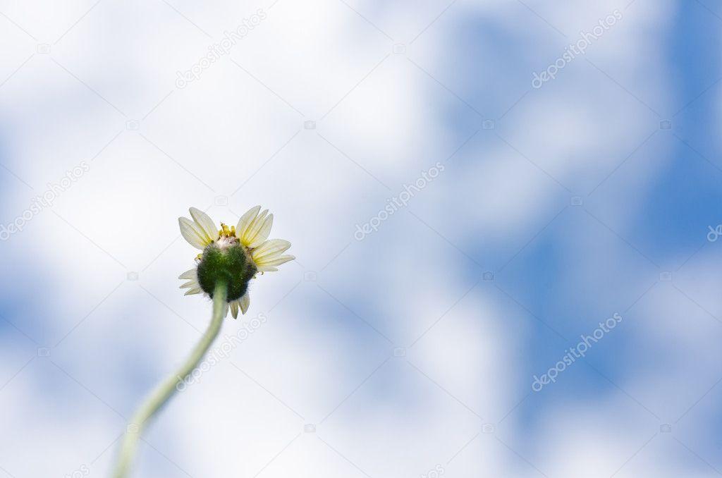 weiße Blume Unkraut und blauer Himmel — Stockfoto © SweetCrisis #9613848