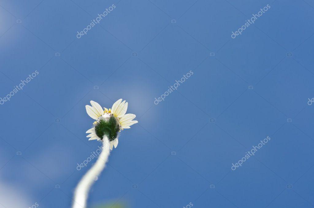weiße Blume Unkraut und blauer Himmel — Stockfoto © SweetCrisis #9613873